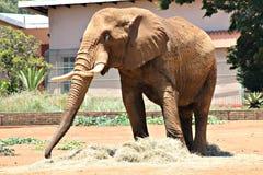 De Afrikaanse Dierentuin van Olifantspretoria Stock Afbeeldingen
