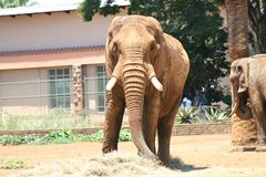 De Afrikaanse Dierentuin van Olifantspretoria Royalty-vrije Stock Foto's