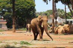 De Afrikaanse Dierentuin van Olifantspretoria Royalty-vrije Stock Afbeelding