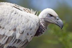 De Afrikaanse gier van de Kaap Stock Afbeelding