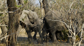 De Afrikaanse groep van de Olifantenfamilie op de Vlaktes Stock Afbeelding