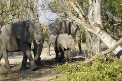 De Afrikaanse groep van de Olifantenfamilie op de Vlaktes Stock Fotografie