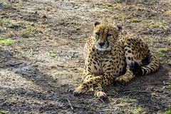 De Afrikaanse jachtluipaard in de de lentedierentuin rust op het eerste groene gras Rusland royalty-vrije stock foto's