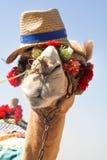 De Afrikaanse kameel royalty-vrije stock foto's