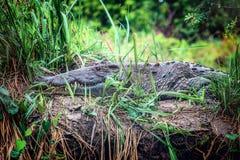 De Afrikaanse krokodil in Murchison valt Nationaal Park, Oeganda royalty-vrije stock afbeelding