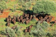 De Afrikaanse Kudde van Buffels Stock Foto