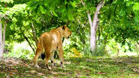 De Afrikaanse leeuw op snuffelt rond Stock Afbeelding