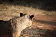 De Afrikaanse leeuw ziet weg eruit Royalty-vrije Stock Afbeeldingen