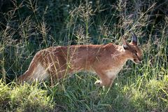 De Afrikaanse Lynx of Caracal-Jacht Stock Afbeeldingen