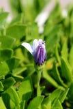 De de Afrikaanse madeliefjes of Osteospermum-installatie met witte en violette bloem ontluiken aanvang te openen omringd met lich stock fotografie