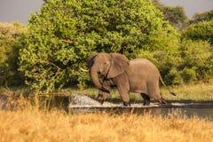 De Afrikaanse Olifant kruist de rivier Royalty-vrije Stock Fotografie