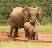 De Afrikaanse olifant van de moeder en van de baby, Zuid-Afrika royalty-vrije stock foto's