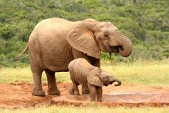 De Afrikaanse olifant van de moeder en van de baby, Zuid-Afrika royalty-vrije stock foto