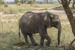 De Afrikaanse Olifant van de Struik stock afbeeldingen