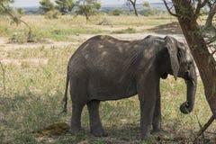 De Afrikaanse Olifant van de Struik royalty-vrije stock afbeeldingen