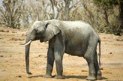 De Afrikaanse Olifant van de Struik Royalty-vrije Stock Foto's