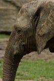 De Afrikaanse Olifant van de Struik (africana Loxodonta) Stock Afbeeldingen