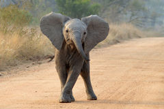 De Afrikaanse Olifant van de Struik (africana Loxodonta) stock afbeelding