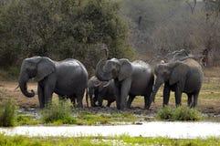 De Afrikaanse Olifant van de Struik (africana Loxodonta) Stock Foto