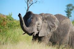 De Afrikaanse Olifant van de Struik (africana Loxodonta) Stock Foto's