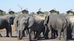 De Afrikaanse Olifanten die zich bij de watervijver rond toerist verzamelen brengt onder stock footage