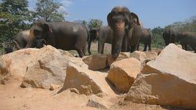 De Afrikaanse olifanten weiden in nabijheid van reserve Langzame Motie stock videobeelden