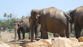 De Afrikaanse olifanten weiden in nabijheid van reserve Langzame Motie stock video
