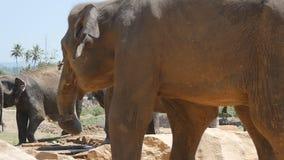 De Afrikaanse olifanten weiden in nabijheid van reserve Langzame Motie stock footage