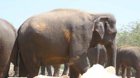 De Afrikaanse olifanten weiden in nabijheid van reserve Sluit omhoog stock videobeelden