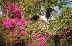 De Afrikaanse ooievaarsmaraboe spreidde zijn vleugels uit royalty-vrije stock fotografie