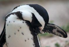 De Afrikaanse pinguïn strijkt zich glad Stock Foto's