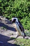 De Afrikaanse Pinguïn (van de Domoor) stock foto's