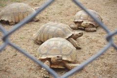 De Afrikaanse schildpad of Sulcata-de schildpad kruipt op zandvloer in landbouwbedrijf royalty-vrije stock fotografie