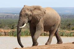 De Afrikaanse Stier van de Olifant Stock Fotografie