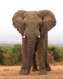 De Afrikaanse Stier van de Olifant Royalty-vrije Stock Foto