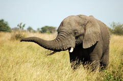 De Afrikaanse Stier van de Olifant Royalty-vrije Stock Afbeelding