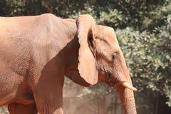De Afrikaanse Stier van de Olifant Stock Foto's