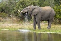 De Afrikaanse Stier van de Olifant, het drinken, Zuiden Afric royalty-vrije stock fotografie