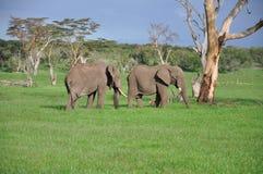 De Afrikaanse stieren van de Olifant Royalty-vrije Stock Foto