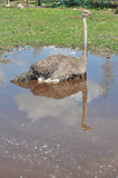 De Afrikaanse struisvogel wordt gebaad in een vulklei Royalty-vrije Stock Fotografie