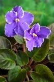 De Afrikaanse Violette bloem (van Saintpaulia) Royalty-vrije Stock Foto's