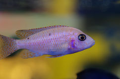 De Afrikaanse vissen van cichlidaguarium stock afbeeldingen