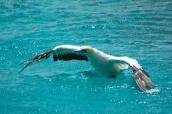 De Afrikaanse vogel van het Jan-van-gent van de Kaap Royalty-vrije Stock Afbeelding
