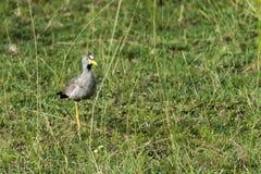 De Afrikaanse Wattled-Kievit Senegal wattled plevier lopend op gras in het Nationale Park van Murchison, Oeganda, Afrika stock fotografie