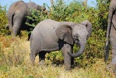 De Afrikaanse Welp van de Olifant (africana Loxodonta) Royalty-vrije Stock Afbeeldingen
