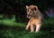 De Afrikaanse welp van de Leeuw, Zuid-Afrika Stock Afbeelding