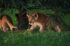 De Afrikaanse welp van de Leeuw, Zuid-Afrika Royalty-vrije Stock Fotografie