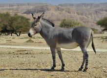 De Afrikaanse wilde ezel (africanus Equus), Israël Royalty-vrije Stock Afbeelding