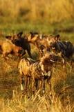 De Afrikaanse wilde honden delen altijd voedsel Stock Foto