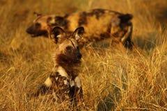 De Afrikaanse wilde honden delen altijd voedsel Royalty-vrije Stock Fotografie